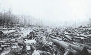 white-pine-clear-cut1